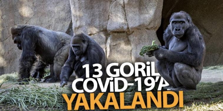 ABD'de hayvanat bahçesindeki 13 goril Covid-19'a yakalandı