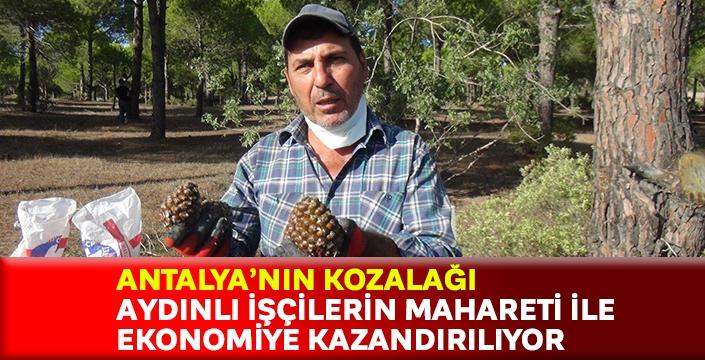Antalya'nın kozalağı Aydınlı işçilerin mahareti ile ekonomiye kazandırılıyor
