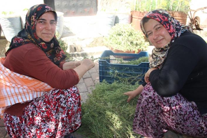 Aydın´da köylü kadınlar virüsten korunmak için atadan kalma yöntemle kekik suyu çıkarıyor