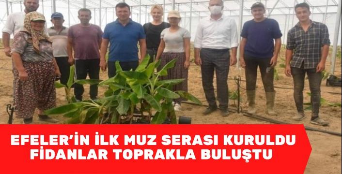 Aydın'ın Efeler ilçesinde kurulan ilk muz serasında fidanlar toprakla buluştu.