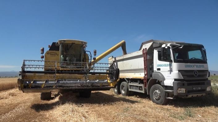 Germencik Belediyesi arazine ektiği buğdayı hasat etti