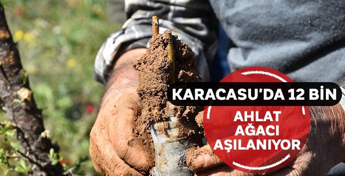 Karacasu'da 12 bin ahlat ağacı aşılanıyor