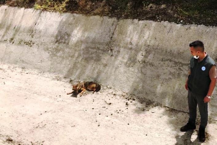 Sulama kanalında, yaralı halde bulunan Çakal, kurtarılamadı