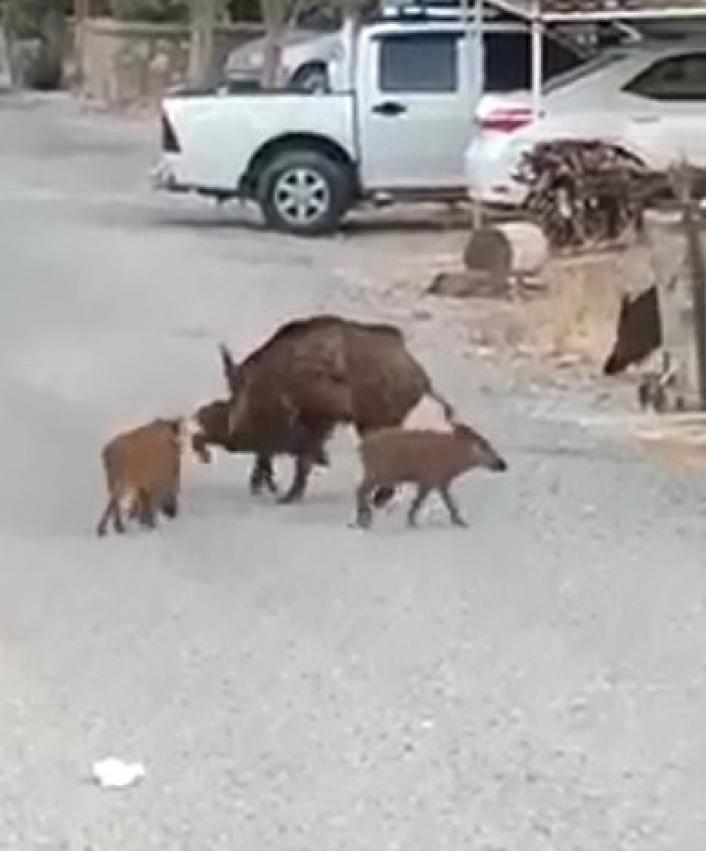 Turistik ilçedeki domuz sürüsü şaşırttı